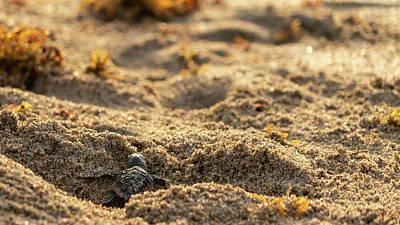 Photograph - Loggerhead Turtle Hatchling 1 by Lawrence S Richardson Jr
