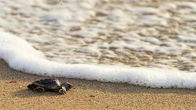 Photograph - Loggerhead Turtle Hatchling 3 Delray Beach Florida by Lawrence S Richardson Jr