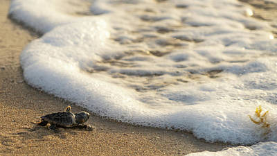 Photograph - Loggerhead Turtle Hatchling 4 Delray Beach Florida by Lawrence S Richardson Jr