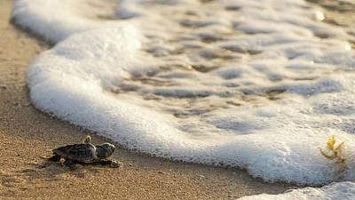 Photograph - Loggerhead Turtle Hatchling 4 Delray Beach Florida by Lawrence S Richardson Jr