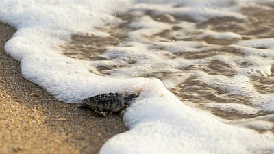 Photograph - Loggerhead Turtle Hatchling 5 Delray Beach Florida by Lawrence S Richardson Jr
