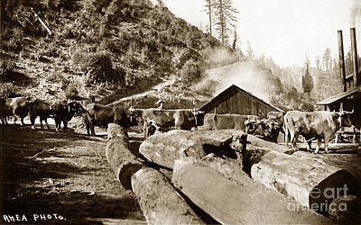 Photograph - Logging With Oxen At A Saw Mill Sonoma County California Circa 1900 by California Views Mr Pat Hathaway Archives