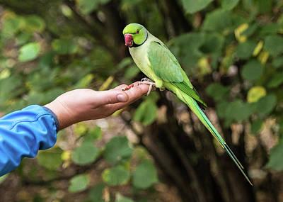 Photograph - London Parakeet by Matt Malloy
