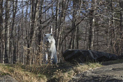 Photograph - Lone Arctic Wolf by Josef Pittner