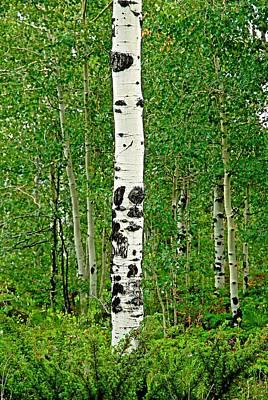 Photograph - Lone Aspen by Robert Meyers-Lussier