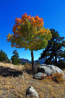 Photograph - Lone Aspen by Shane Bechler
