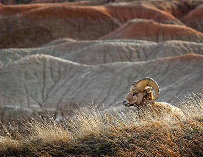 Photograph - Lone Bighorn Sheep In Badlands National Park by Ray Van Gundy