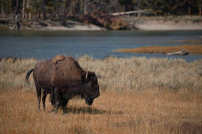 Photograph - Lone Bison by Cliff Wassmann