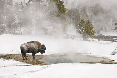 Print featuring the photograph Bison Keeping Warm by Gary Lengyel