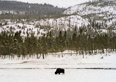 Photograph - Lone Buffalo by Susan Rissi Tregoning