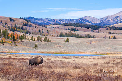 Yellowstone Digital Art - Lone Bull Buffalo by Cindy Singleton