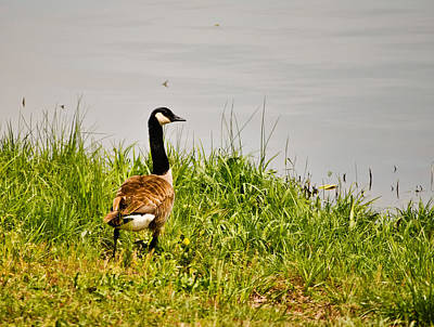 Photograph - Lone Canada Goose - Loch Mary - Earlington Kentucky by Greg Jackson