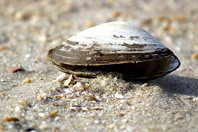 Lone Clam Art Print by Mary Haber