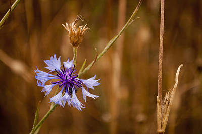 Photograph - Lone Cornflower by David Isaacson