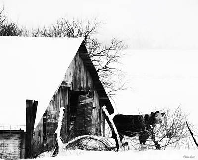 Barns In Snow Photograph - Lone Cow In Snowstorm by Anna Louise