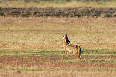 Photograph - Lone Coyote Howling by Loree Johnson
