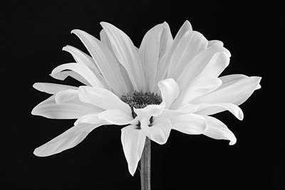 White Photograph - Lone Daisy by Harry H Hicklin