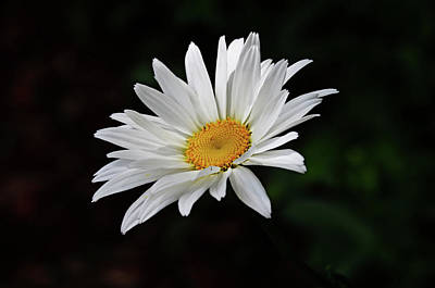 Photograph - Lone Daisy by Linda Brown