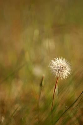 Photograph - Lone Dandelion 2 by Jill Reger