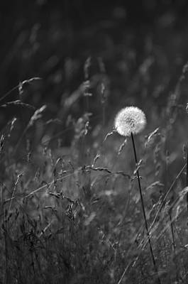 Photograph - Lone Dandelion Black And White by Jill Reger