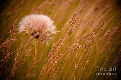 Red White And You - Lone Dandelion by Bob Mintie