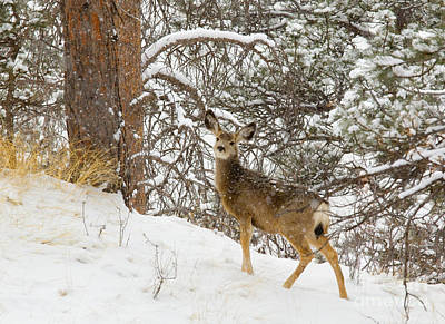Steven Krull Royalty-Free and Rights-Managed Images - Lone Deer in Heavy Snow in the Pike National Forest by Steven Krull