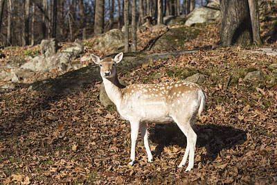Photograph - Lone Deer by Josef Pittner