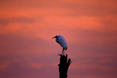 Photograph - Lone egret by Jim Phares