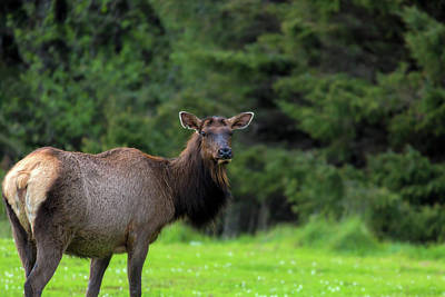 Photograph - Lone Elk At Ecola State Park by David Gn