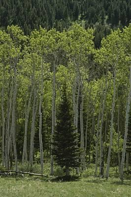 Lone Evergreen Amongst Aspen Trees Art Print