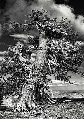 Vertical Photograph - Lone Gnarled Old Bristlecone Pines At Crater Lake - Oregon by Christine Till