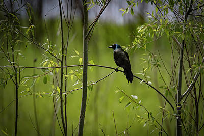 Photograph - Lone Grackle by Ray Congrove