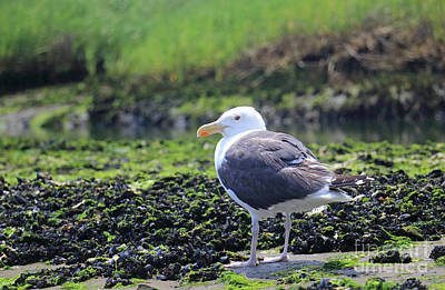 Photograph - Lone Gull by Mary Haber
