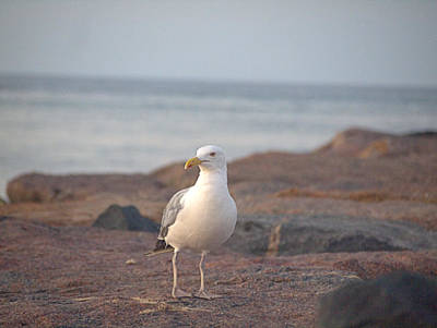 Art Print featuring the photograph Lone Gull by  Newwwman