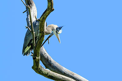 Photograph - Lone Heron In A Tree by Joni Eskridge