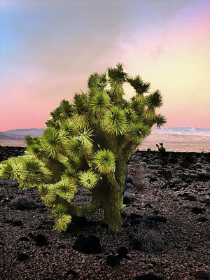 Photograph - Lone Joshua Tree by Alan Socolik