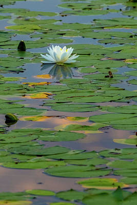 Photograph - Lone Lilly by Bill Wakeley