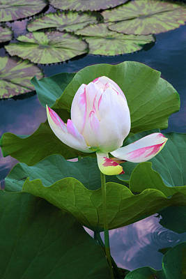Photograph - Lone Lotus by Jessica Jenney