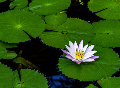 Photograph - Lone Lily by Ken Frischkorn
