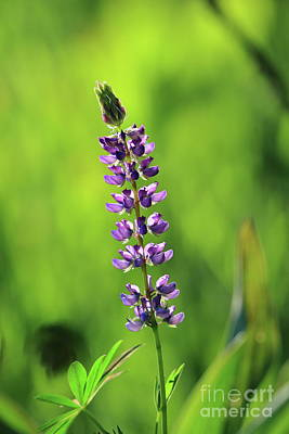 Roaring Red - Lone Lupine by Leia Hewitt