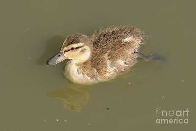 Bear Photography Rights Managed Images - Lone Mallard Duck Duckling Royalty-Free Image by Merrimon Crawford