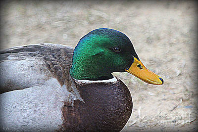 Photograph - Lone Mallard Duck by Kathy White