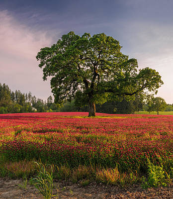 Crimson Clover Photograph - Lone Oak In Clover Field by Jason Harris