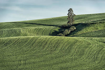 Photograph - Lone Pine In Wheat Field Palouse Wa Dsc04408 by Greg Kluempers