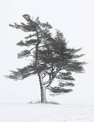 Photograph - Lone Pine In Winter Storm by Barbara McMahon