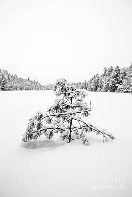 Photograph - Lone Pine Tree Anderson Pond Eastman New Hampshire by Edward Fielding