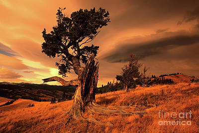 Photograph - Lone Pine Whaleback Ridge by Bob Christopher