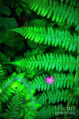 Photograph - Lone Pink Herb-robert Flower With Braken Fern  by Bruce Block