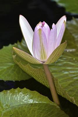 Photograph - Lone Pink Waterlily by Tana Reiff