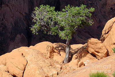 Photograph - Lone Pinon by Frank Townsley